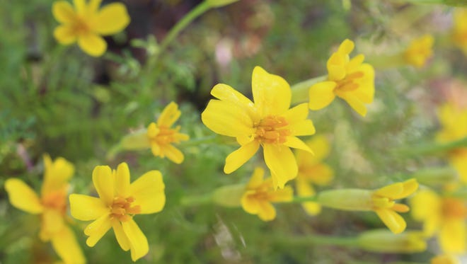 Place marigold plants near tomatoes for protection from pests.