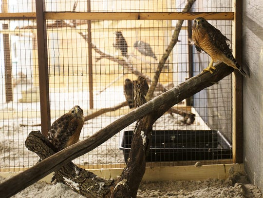 Red Shouldered hawks at the Calusa Nature Center and