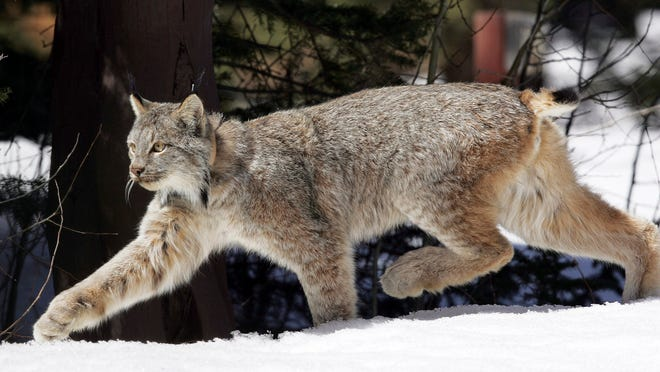 A Canada lynx heads into the Rio Grande National Forest after being released April 19, 2005, near Creede. Canada lynx gained federal protections in New Mexico on Thursday, Sept. 11, but U.S. wildlife officials again declined to designate critical habitat for the elusive wild cats in the Southern Rockies, parts of New England and other areas not considered essential to their survival.