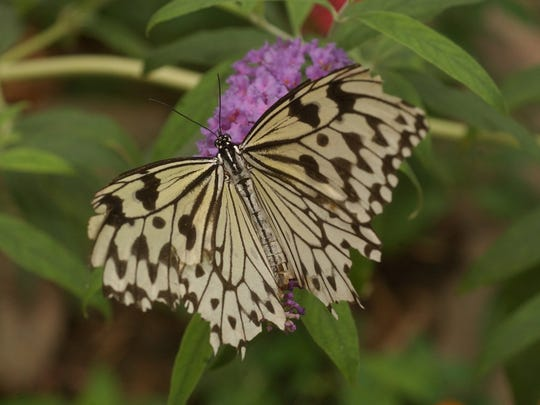 This especially friendly butterfly is a Paper Kite and is indigenous to South East Asia and Australia. This is one of several species that can be seen at the Butterfly House, Catawba Avenue, Put-in-Bay.