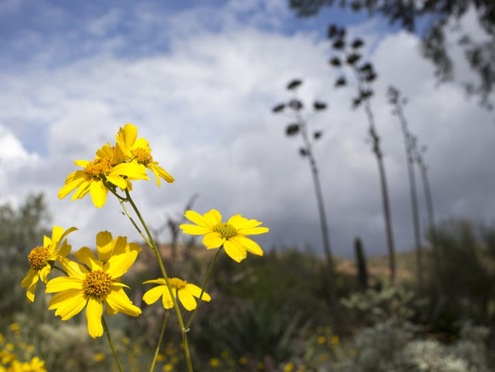 Brittlebush wildflowers are among the nearly 3,200