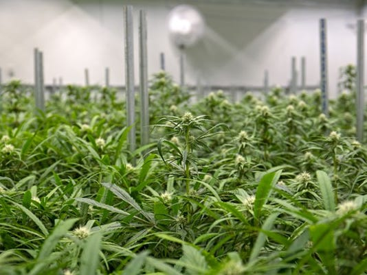 marijuana-grow-farm-indoor-cannabis-pot-weed-canada-us-getty_large.jpg