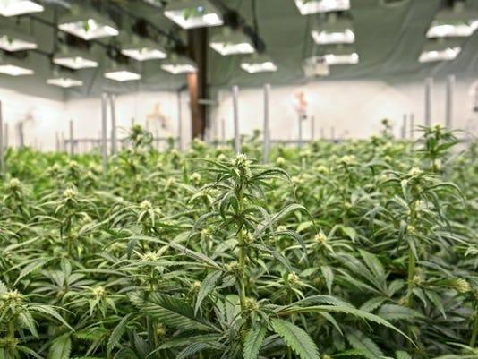 marijuana-greenhouse_large.jpg