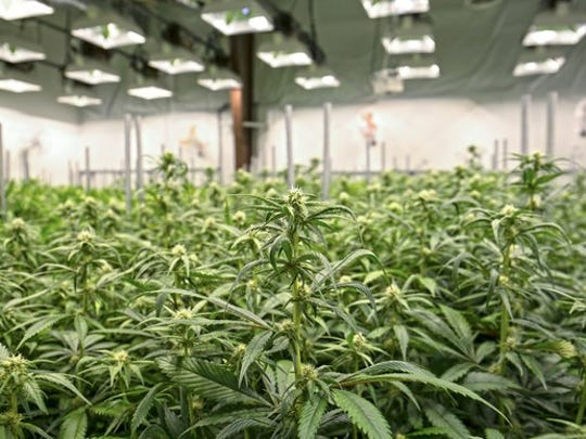 Marijuana plants growing under extensive lighting inside a greenhouse facility.