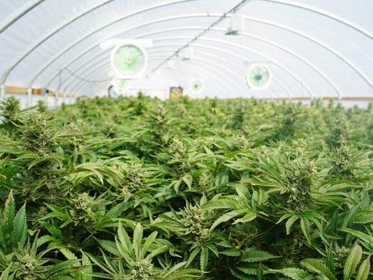 marijuana-growing-in-greenhouse_large.jpg