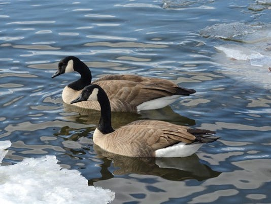 canadian-geese-canada-goose-getty_large.jpg