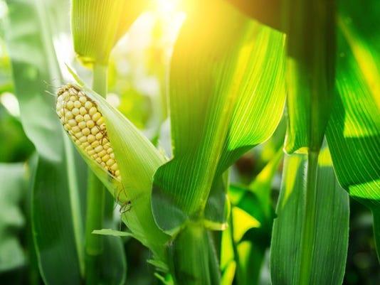 077-corn-crop_large.jpg