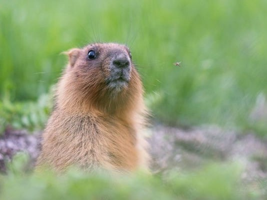 groundhog-woodchuck-marmot-whistlepig_large.jpg