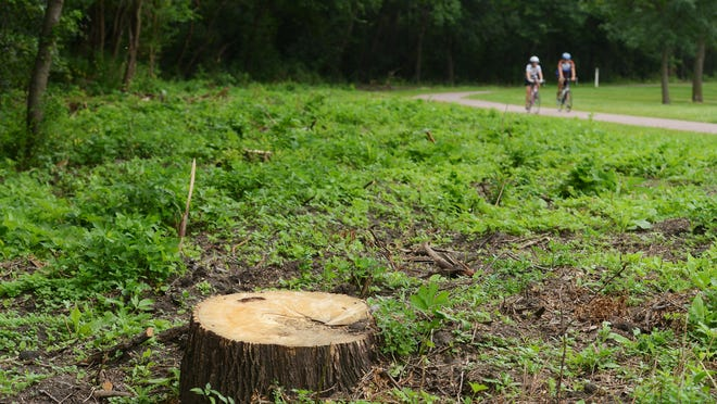 One of many trees cleared along the south side of the bike trail along the river in Yankton Trail Park, July 15, 2015.