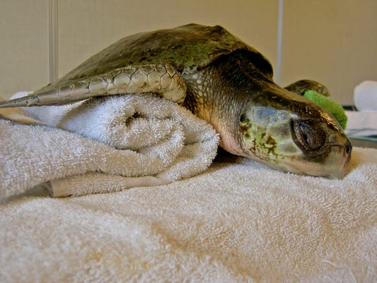 Kemp's Ridley Sea Turtle Rescued