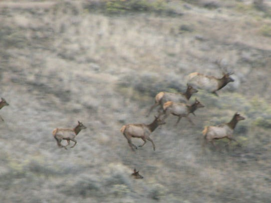 These elk in the Missouri River Breaks are part of