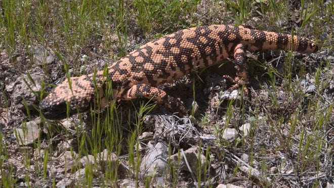 A Gila monster in the Spur Cross Ranch Conservation Area.