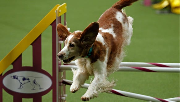 Cece competes during the agility competition at the