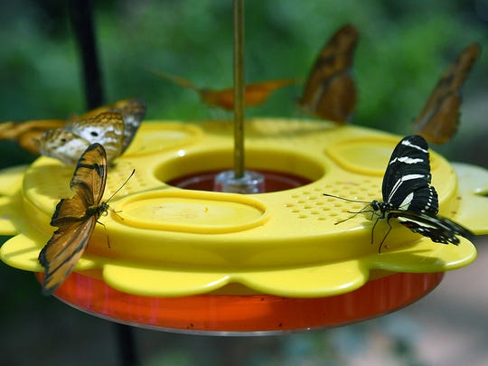 A variety of butterflies gather around a feeder in the butterfly conservatory at River Bend Nature Center.