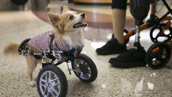 Nubby, a two-legged long-haired Chihuahua, looks up while volunteering as a pet therapy dog at Banner Baywood Medical Center in Mesa on Feb. 16, 2018. Nubby was born with only two legs.