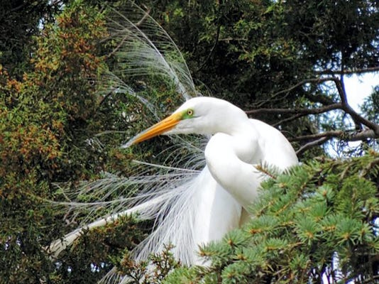 """Fran Marple of Manchester wrote, """"Kiwanis Lake is a birding paradise when looking for black crowned night herons and  great egrets. There were also two immature eagle soaring over the lake.  Some trees  had as many as six  egret nests in them."""" Submitted"""