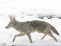 A large coyote lopes through the snow near Mount Rose Summit in 2013. Critics have petitioned Nevada wildlife officials to outlaw coyote hunting contests, which award prizes for the number of coyotes killed.