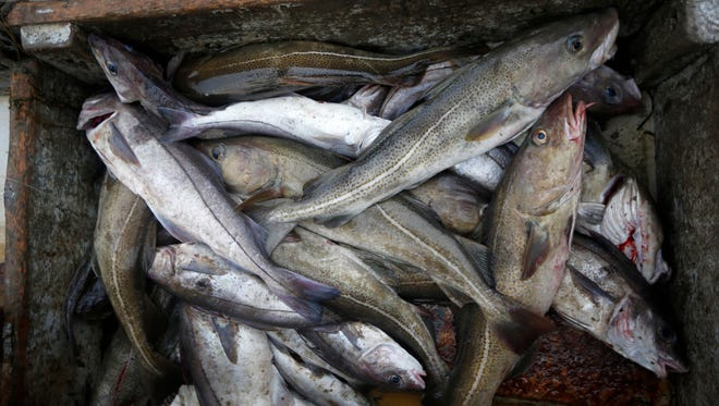 In this April 23, 2016 photo, cod, the larger fish at right, and silvery haddock, are sorted aboard a fishing boat off the coast of New Hampshire. After centuries of weathering overfishing, pollution, foreign competition and increasing government regulation, the latest challenge for area fishermen is the one that's doing them in: climate change.