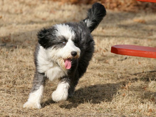 Buddy, an Old English sheepdog, visits the Ewing Dog