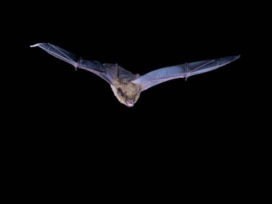 Big brown bat in flight