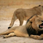 An undated handout photo provided by the Zimbabwe Parks and Wildlife Management Authority shows Cecil, one of Zimbabwe's most famous lions, who was reportedly shot dead by U.S. hunter Walter Palmer of Minnesota. Cecil's killing has generated worldwide outrage and criticism from celebrities and politicians including Sen. Jeff Flake, R-Ariz., chairman of the Senate's Africa subcommittee.