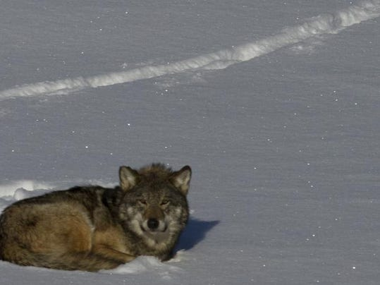 wolf in snow.jpg
