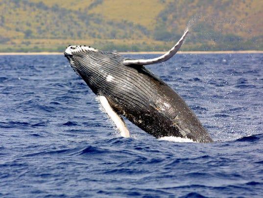 AP Humpback Whales