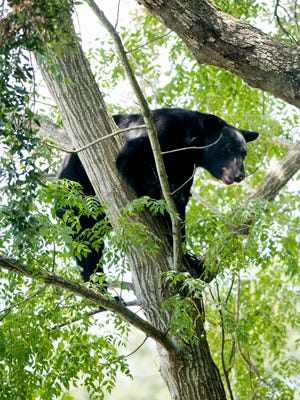 A black bear is stranded in a tree in the vacant lot next to the McDonald's on Fairfield Drive on Tuesday.