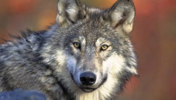 At the end of 2013, data showed that Wyoming, Montana and Idaho were home to at least 320 packs consisting of at least 1,691 wolves and at least 78 breeding pairs.