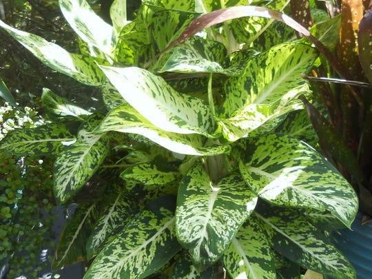 If you lived up North, you probably had dumb cane, or diffenbachia, as a house plant. Here in Florida, it's a native tropical landscape plant. It's also one of the world's most poisonous plants to ingest.