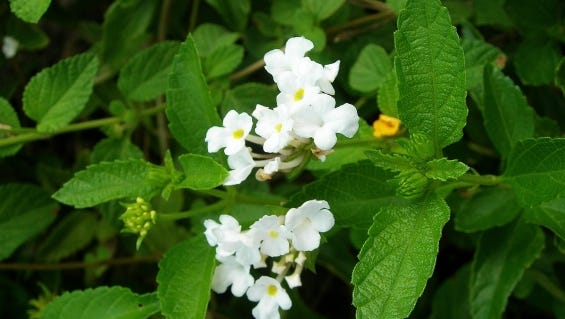 Wild Lantana (Lantana involucrate) is a native plant which works well in the landscape. It is one of the best butterfly nectar plants for Florida landscapes, it is non-invasive and very drought tolerant once established. Provide it with full sun and well-drained soil and it will be happy in any garden.