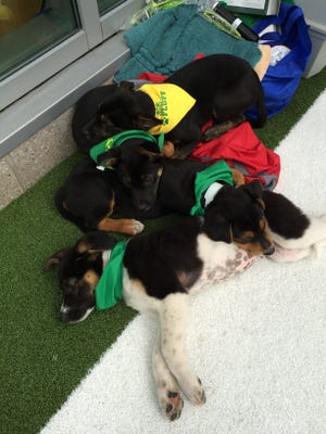 By the end of the day all four puppies were tired out and decided to rest up on the sidelines.