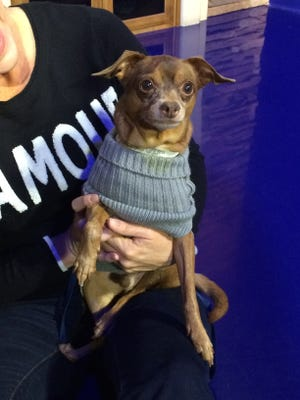 Morton, a 6-year-old Chihuahua mix is available for adoption on Feb. 28 at 11 a.m.