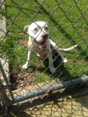 Lucky another pit bull given the name T-Bone were removed from a Powell Street home March 8.  The animal shelter and citizens are disputing over who should care for the dogs.