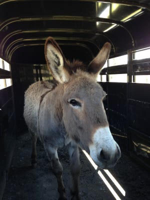 A male donkey was found on the loose in Leiper's Fork on Sunday. It is being held at the Williamson County Animal Center's equine facility.