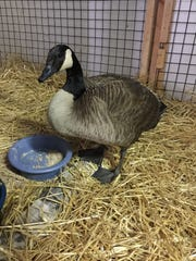 Canada goose heals at Back-to-the-Wild Wildlife Rehabilitation