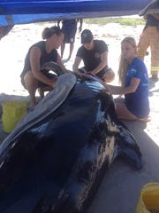 Rescuers from Kennedy Space Center and Hubbs-SeaWorld Research Institute examine a pilot whale that beached itself three years ago.