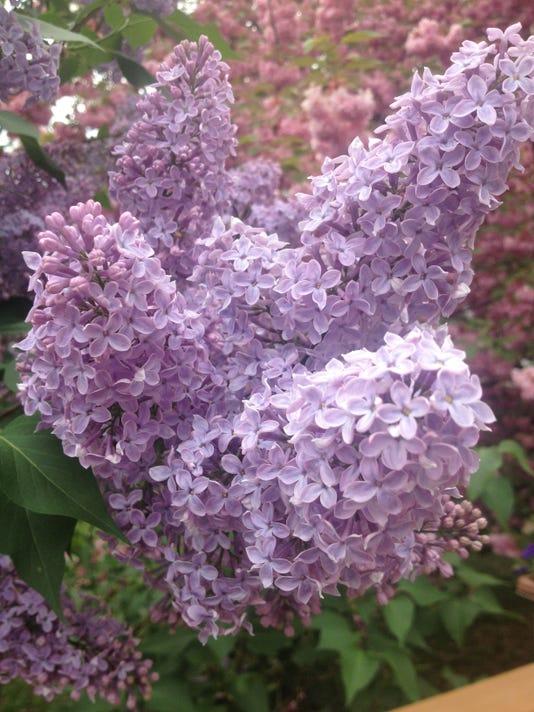 Lilac from deck KJC.jpg