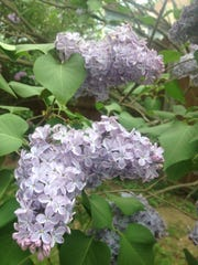 With their intoxicating fragrance, lilacs make memorable gifts for milestone occasions.