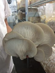The beautiful ridges on the underside of large oyster mushrooms at Fiery Fungi.