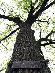 Seventy years ago, Chuck Walters of Knoxville replanted a spindly volunteer walnut tree along the street in front of the small house where he and his wife lived. He slung a sign around it with a log chain. Today the tree towers, still decorated by the sign and chain.