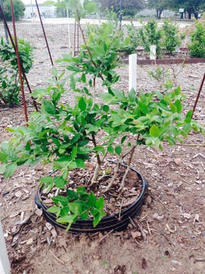 By growing blueberry plants in containers, gardeners can be control the acidity of the soil.