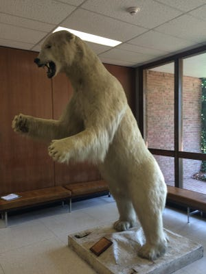 The polar bear on MSU's campus holds court in the Natural Resources lobby.