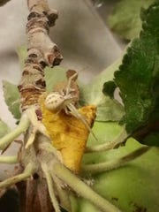 This beautiful-cream colored crab spider is helping fight the war with two spotted spidermites on this apple tree.