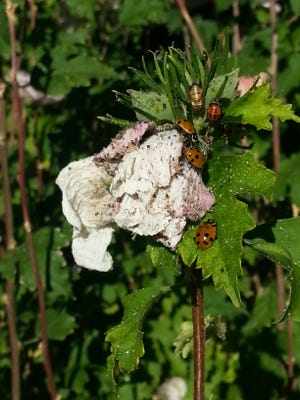 This Rose of Sharon is a battle ground where Ladybugs are gaining ground against aphids. Adults and pupating larvae are at the top of the leaves with a trail of dead aphids in their wake. Photo by Wendy Hanson Mazet.