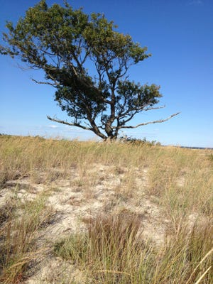 Before the Gordons Pond bike trail was complete, hardy cyclists used a marked trail through the sand. One of the highlights of the trip was this solitary old tree, still visible from the new trail.