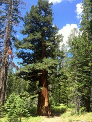 This strikingly large tree is on the trail to Dardanelles Lake.