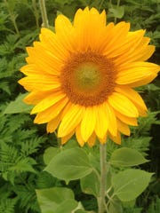 Wet from the rain, a sunflower from Durr Farms happily faces the camera.