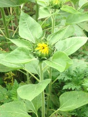 A sunflower emits cheer, even while still in bud.