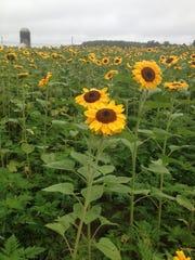kjc sun field 2